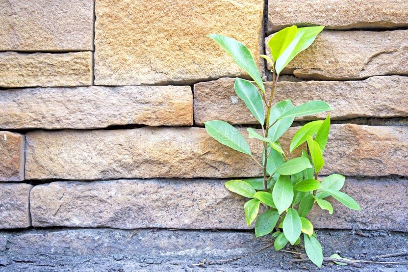 Den lilla banyanen växer vid väggen royaltyfri foto
