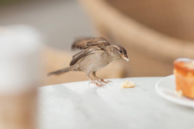 Den lilla besökaren stjäler några smulor från kakan, liten sparv i ett gatakafé royaltyfri bild