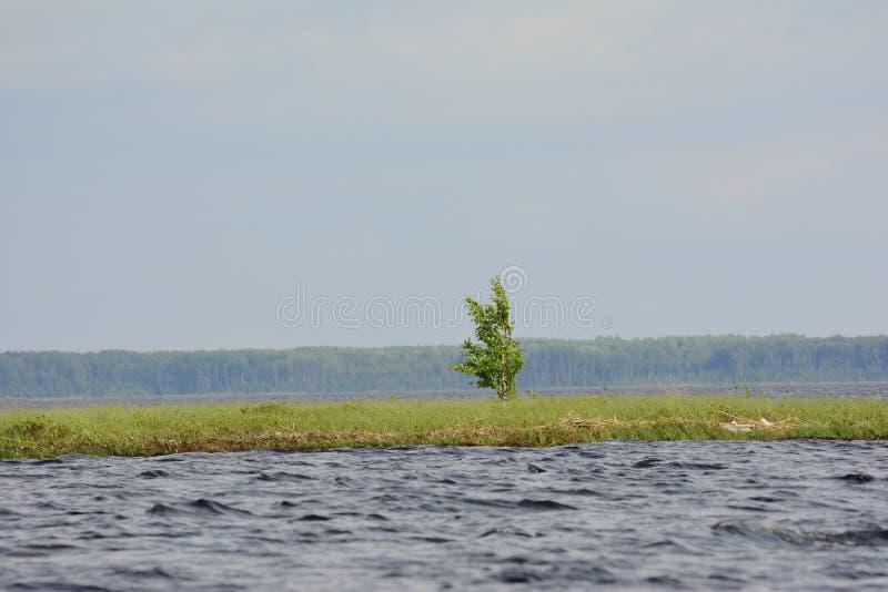 Den lilla björken som ashore växer mot bakgrunden av den molniga himlen och trät arkivfoto