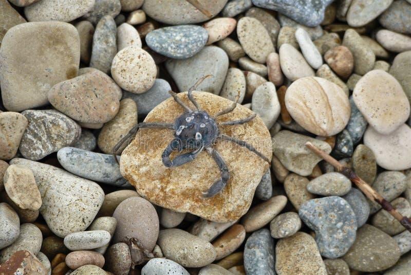 Den lilla blåa krabban sitter på en sten på kiselstenar för ett bakgrundshav royaltyfri bild