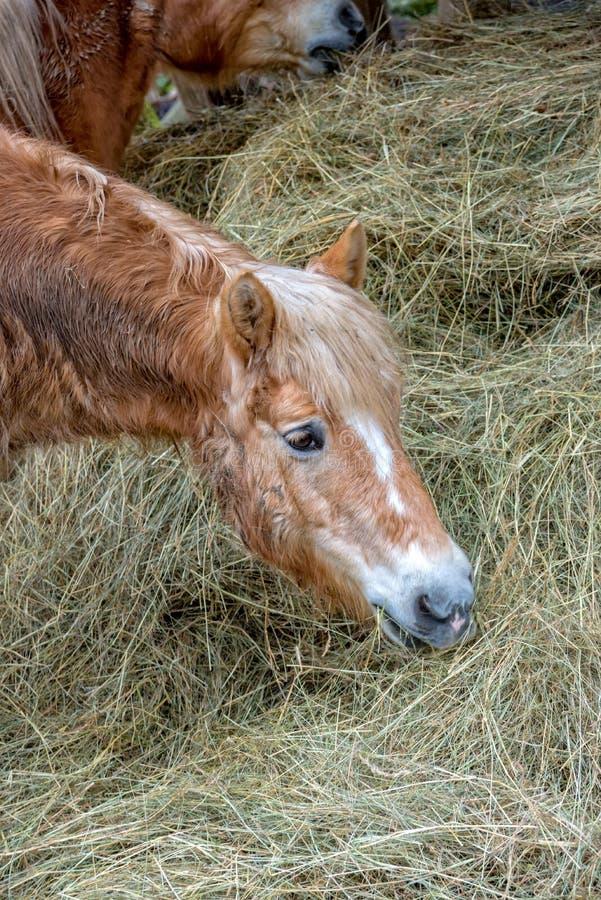Den lilla bruna ponnyn äter hö i beta arkivbilder