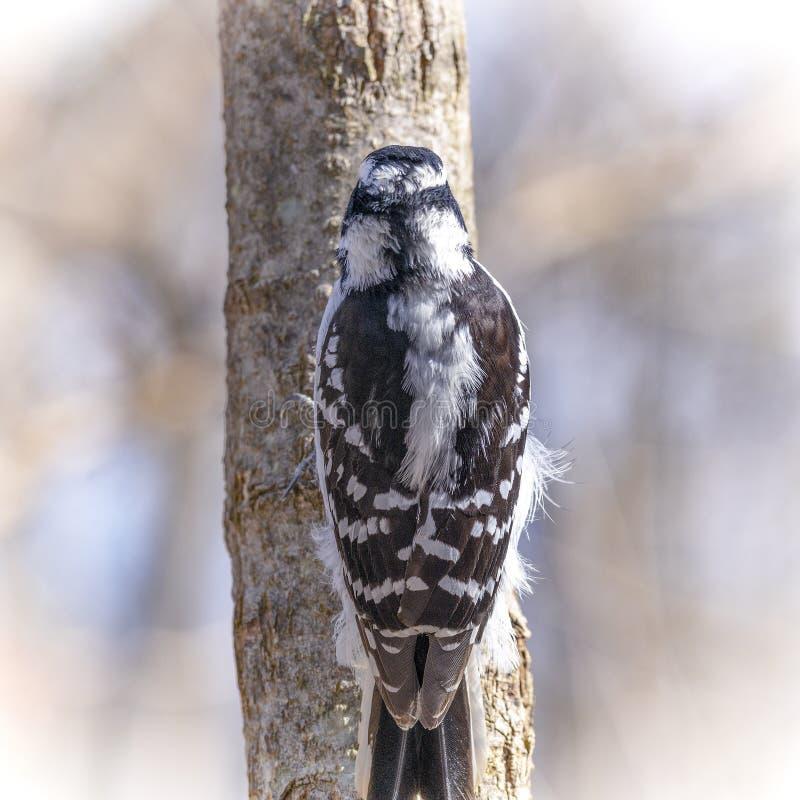 Den lilla duniga hackspetten sätta sig på trädstammen med tillbaka till kameran fotografering för bildbyråer