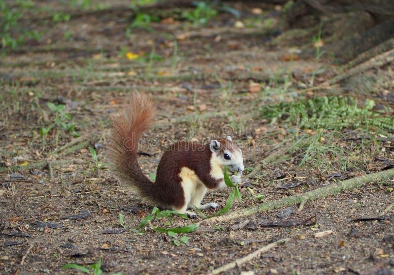 Den lilla ekorren äter ett gräs fotografering för bildbyråer