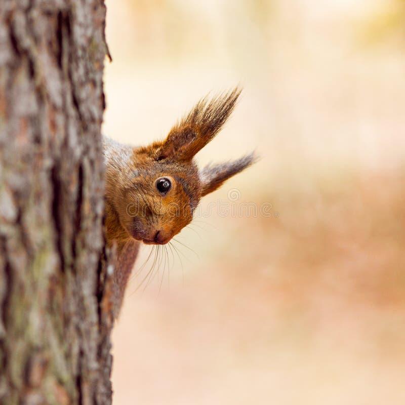 Den lilla ekorren sitter på trädet arkivfoto