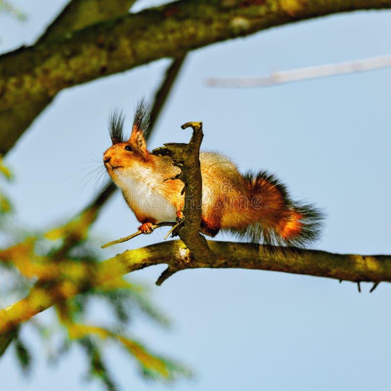 Den lilla ekorren sitter på trädet arkivfoton