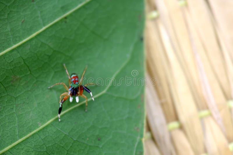 Den lilla färgrika spindelsamlingen arkivfoto