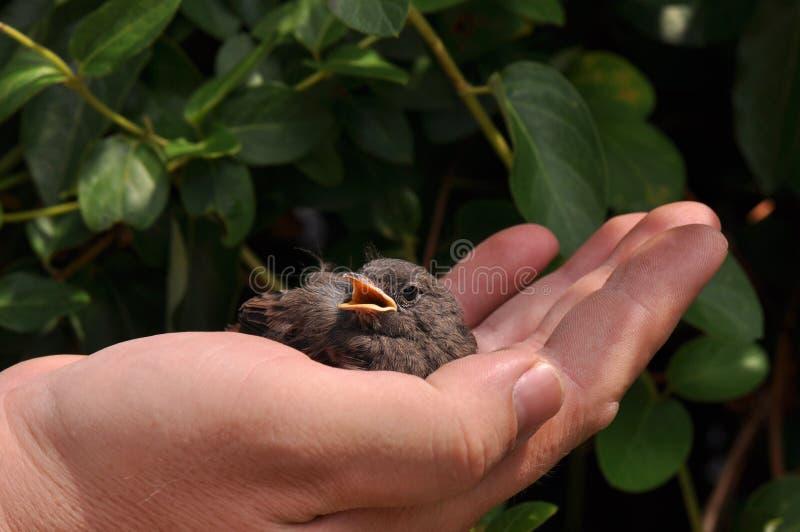 Den lilla fågeln gömma i handflatan på arkivbilder