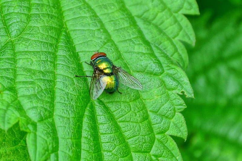 Den lilla flugan sitter på ett grönt blad av en växt i natur royaltyfri fotografi