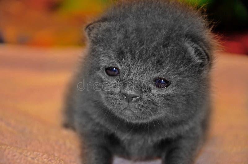 Den lilla gråa fluffiga kattungen gör dess första steg Kränkt gullig veckbritt för framsida royaltyfri bild