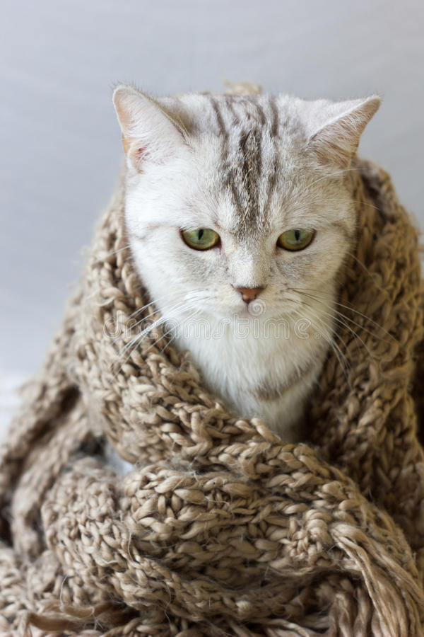 Den lilla gråa katten slår in upp i woolen halsduk arkivbild