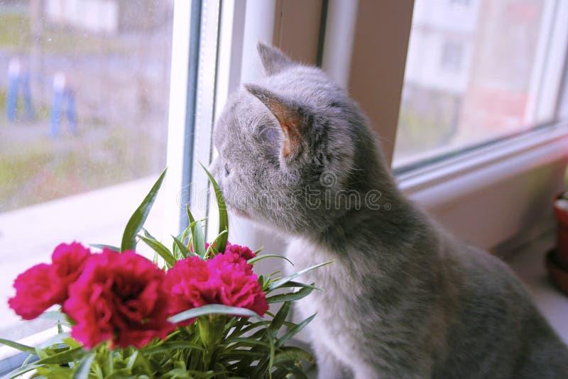 Den lilla gråa kattungen beundrar blomman arkivbild