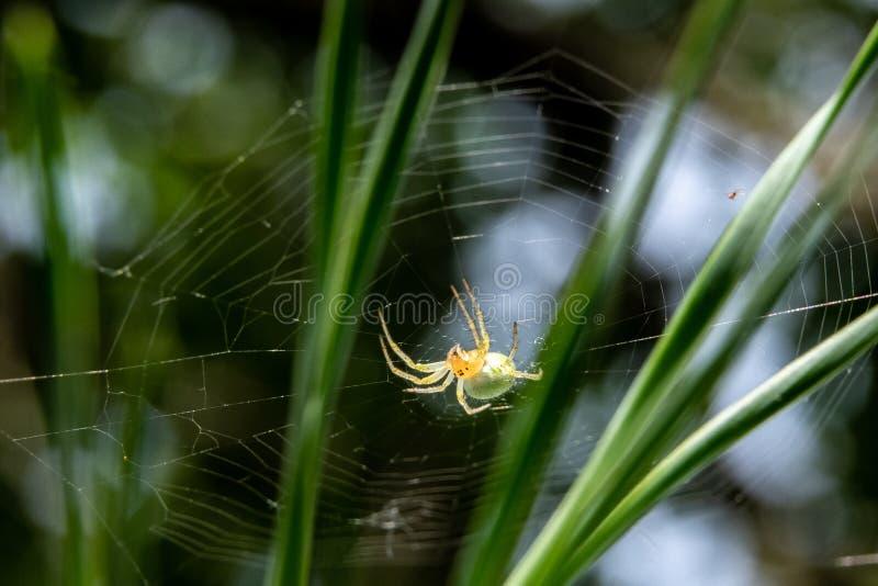 den lilla gröna spindeln på a sörjer trädnärbild royaltyfri fotografi