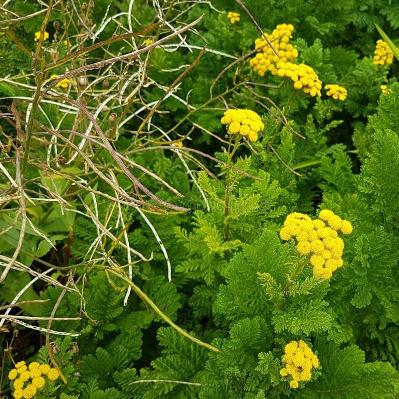 Den lilla gula evergreen blommar i tät lövverk med gamla seende pinnar arkivbilder