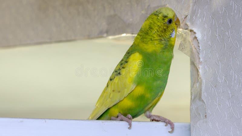 Den lilla gula gröna krabba papegojan som sitter på en filial, gnag revor skrapar väggen och att orsaka skada för att skyla över  arkivfoton