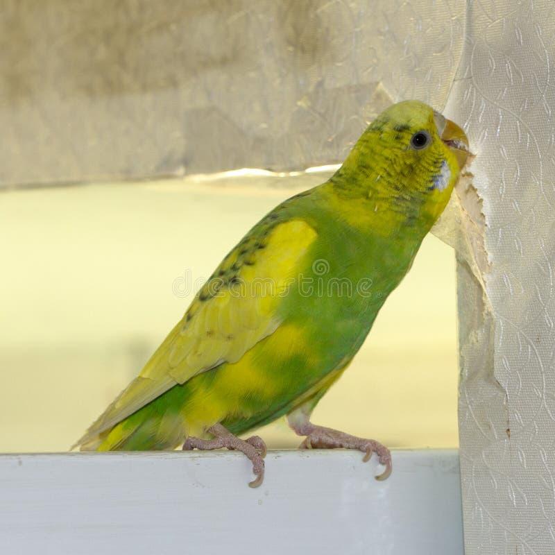 Den lilla gula gröna krabba papegojan som sitter på en filial, gnag revor skrapar väggen och att orsaka skada för att skyla över  royaltyfria foton
