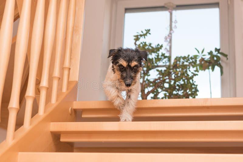 Den lilla gulliga hunden kör ner hal trappuppgång royaltyfri bild