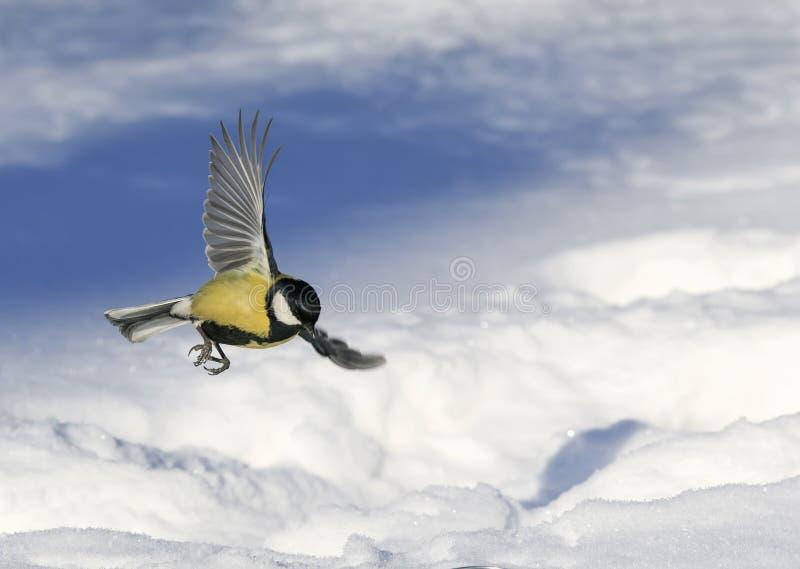Den lilla härliga mesen flyger fördela vitt henne vingar över ett snöig arkivfoton