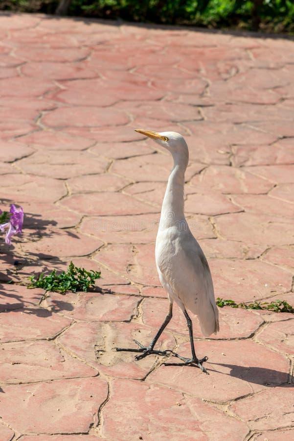 Den lilla härliga vita fågeln går på tegelplattan royaltyfri bild