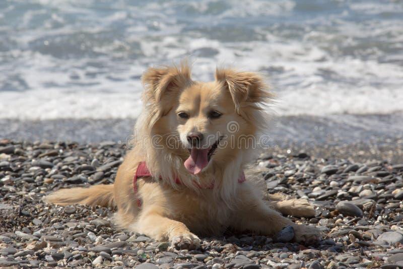 Den lilla hunden lismar på havet royaltyfri bild
