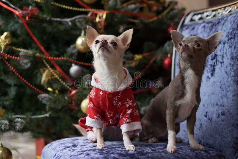 Den lilla hundkapplöpningen är vit och brun på bakgrunden av en dekorerad julgran på en blå fåtölj royaltyfri fotografi