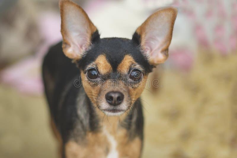 Den lilla hundleksaken Terrier med intelligenta och vakna framsidablickar in i ramen blurriness fotografering för bildbyråer