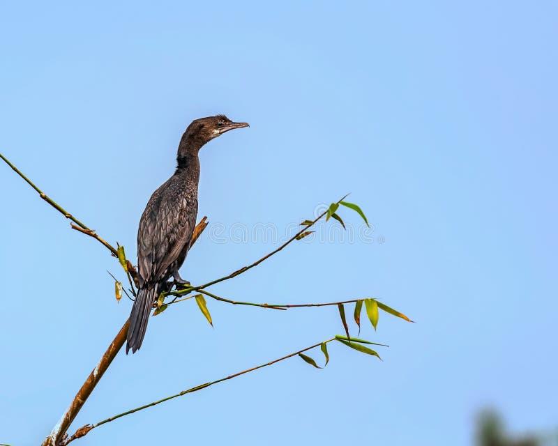 Den lilla kormoran, phalacrocoraxen Niger, fågel, sätta sig royaltyfria bilder