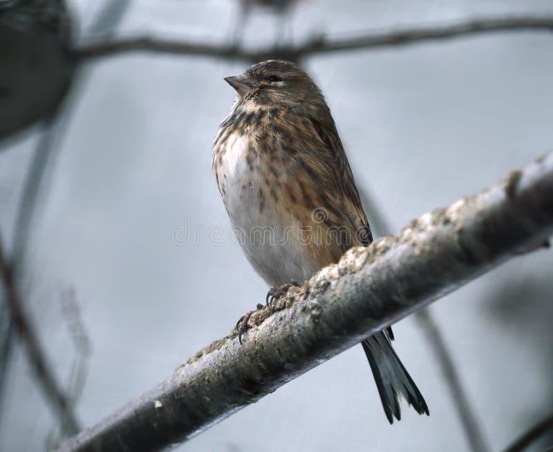 Den lilla men mycket stolta lilla fågeln ser som sparven arkivbilder