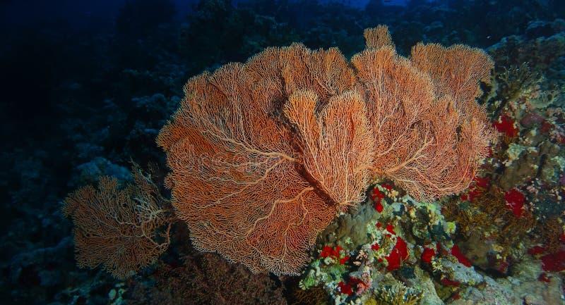 Den lilla och stora gorgoniaen inom korallträdgården i hajar revar royaltyfria bilder