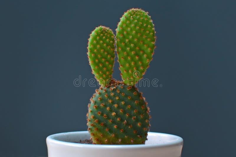 Den lilla Opuntiamicrodasyskaninen gå i ax kaktuns i en vit kruka framme av mörk bakgrund arkivfoto