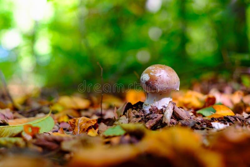 Den lilla porcinien, encentmyntbullen, stensoppet, porcinoen, stensopp plocka svamp fotografering för bildbyråer