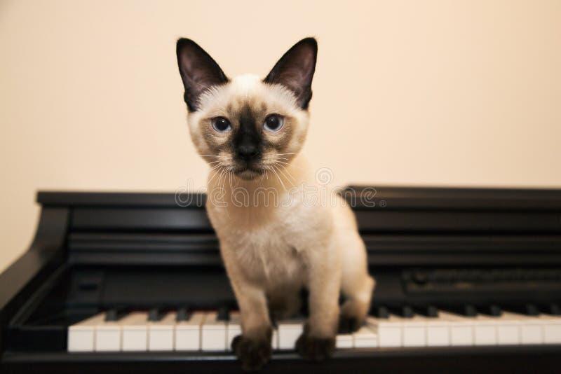 Den lilla siamese seende katten sitter på pianot arkivbild