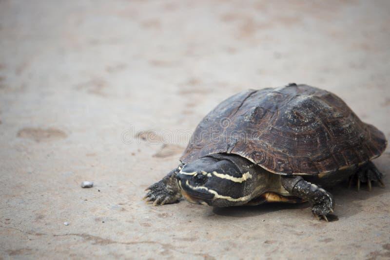 Den lilla sköldpaddan går på en konkret väg royaltyfri bild