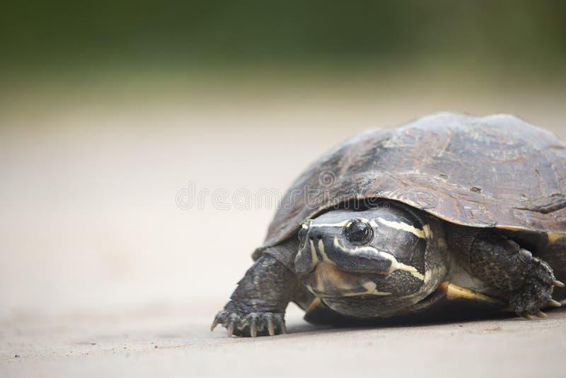Den lilla sköldpaddan går på en konkret väg arkivfoto