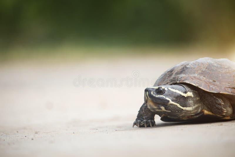 Den lilla sköldpaddan går på en konkret väg arkivbild