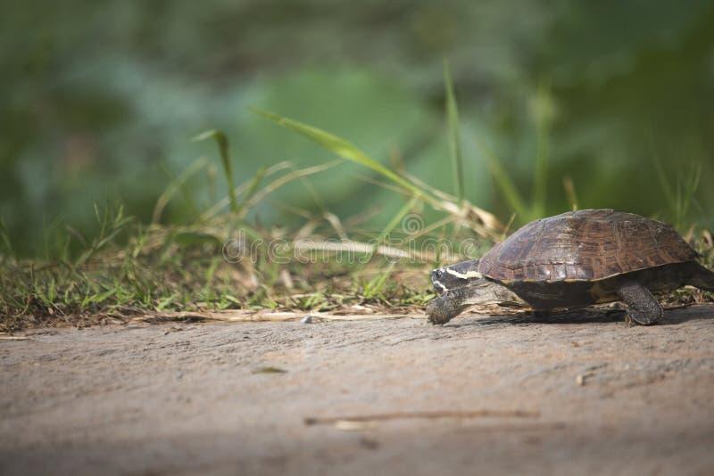 Den lilla sköldpaddan går på en konkret väg arkivfoton