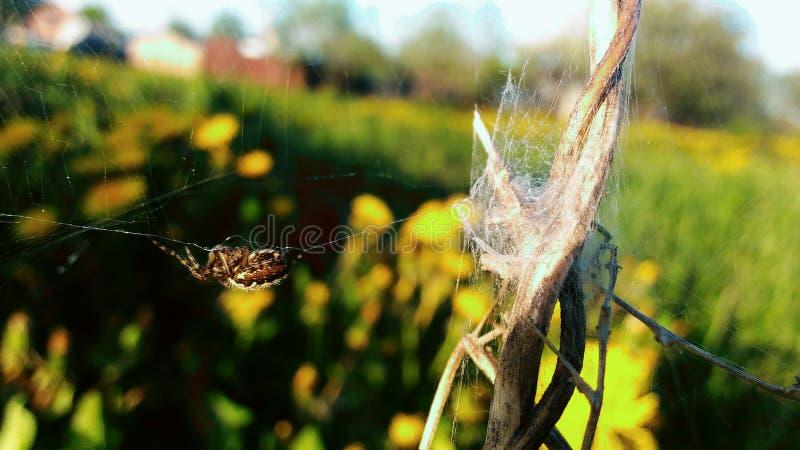 Den lilla spindeln royaltyfria foton