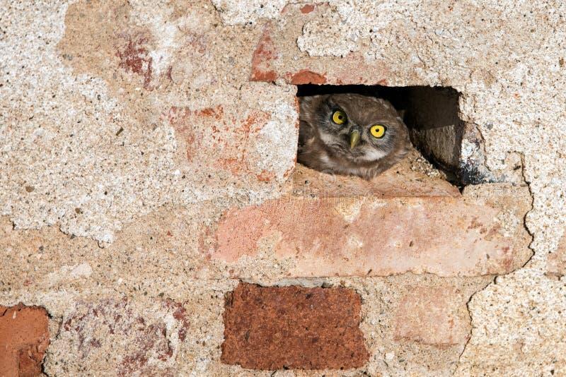 Den lilla ugglan som kikar ut ur ett hål i en tegelstenvägg royaltyfri bild
