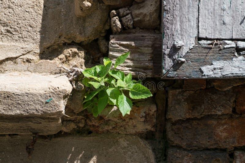 Den lilla växten växer på stenbyggnad arkivfoto