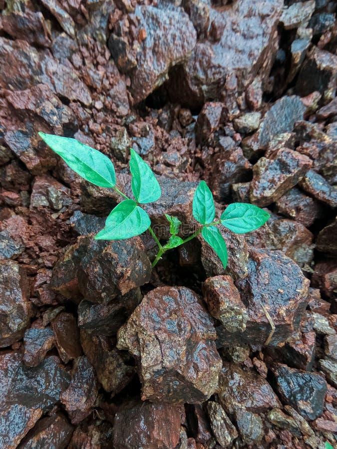 Den lilla växttillväxten i många stenar royaltyfria foton
