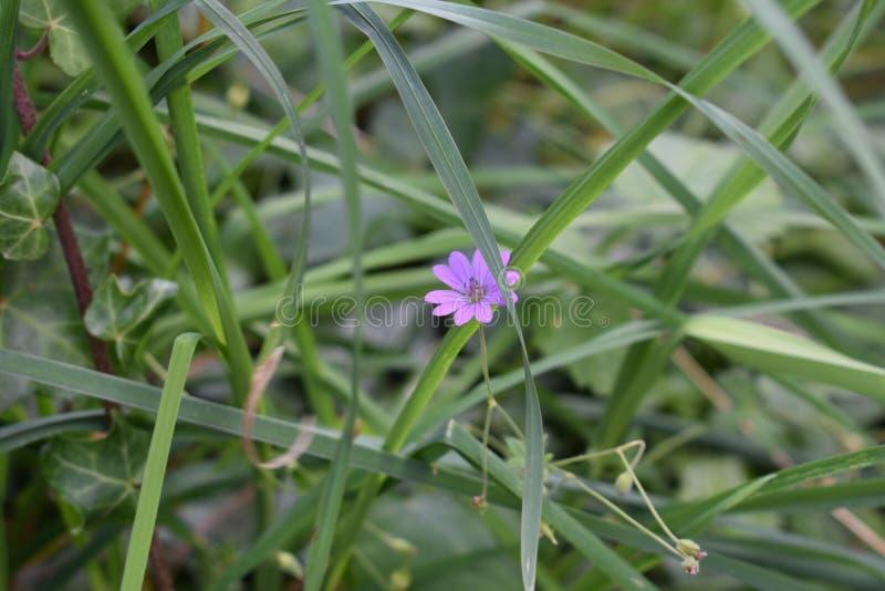 Den lilla violeten royaltyfri foto
