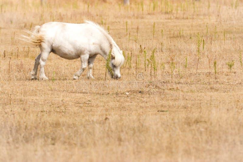 Den lilla vita ponnyn betar på royaltyfri bild