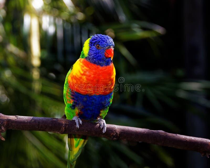 Den livliga färgrika tropiska papegojan sätta sig på en pinne fotografering för bildbyråer