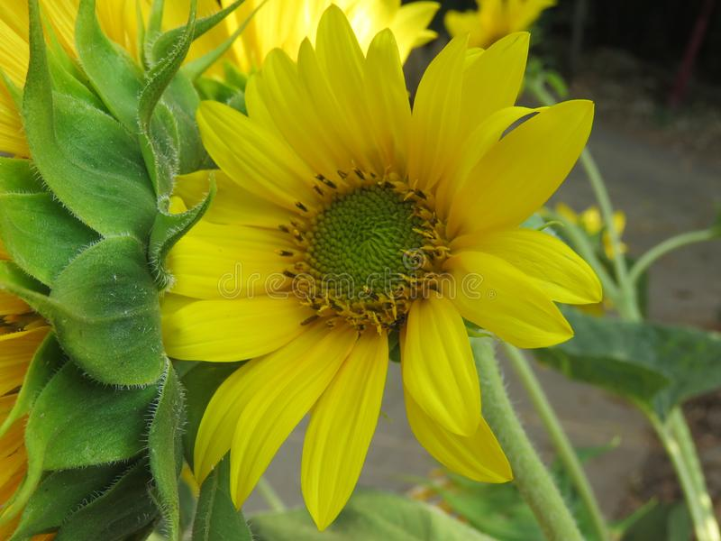 Den ljus solrosen som är guld- och, gör någon dag! arkivbild