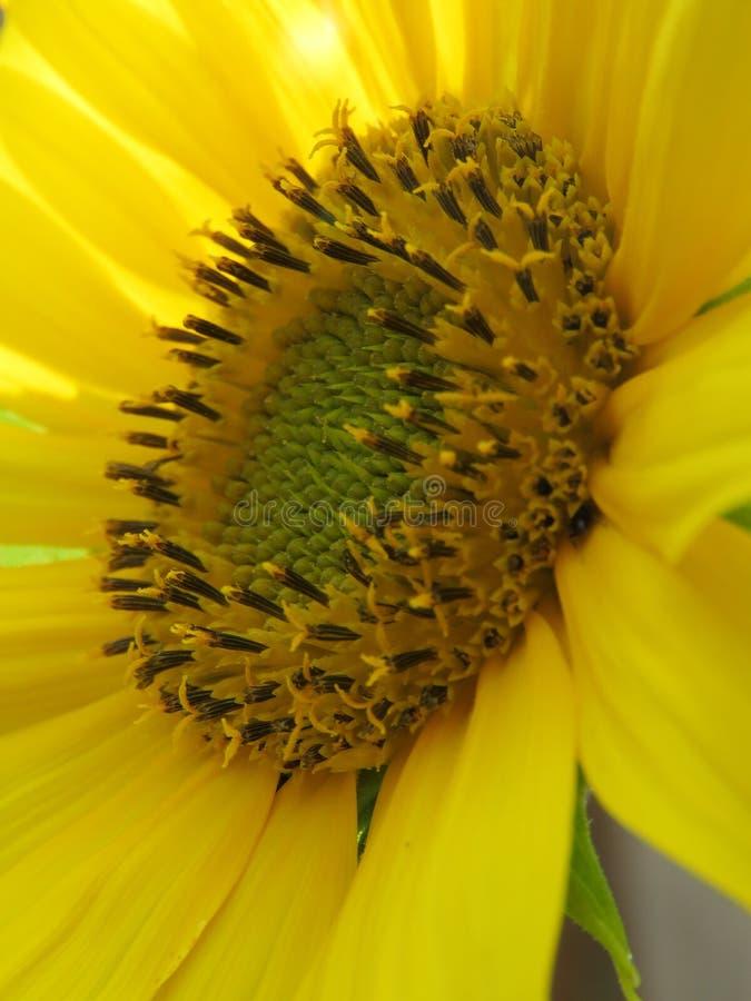 Den ljus solrosen som ?r guld- och, g?r n?gon dag! arkivfoton