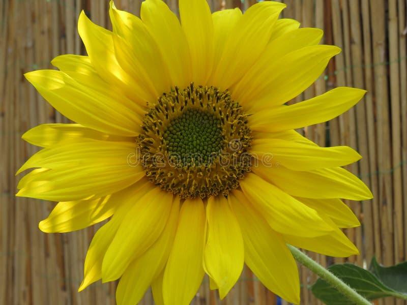 Den ljus solrosen som ?r guld- och, g?r n?gon dag! royaltyfri fotografi