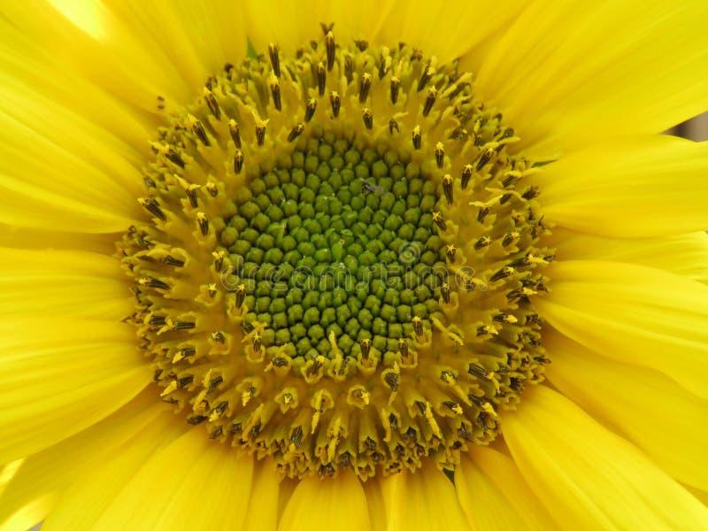 Den ljus solrosen som ?r guld- och, g?r n?gon dag! royaltyfria foton