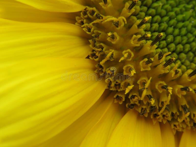 Den ljus solrosen som ?r guld- och, g?r n?gon dag! fotografering för bildbyråer