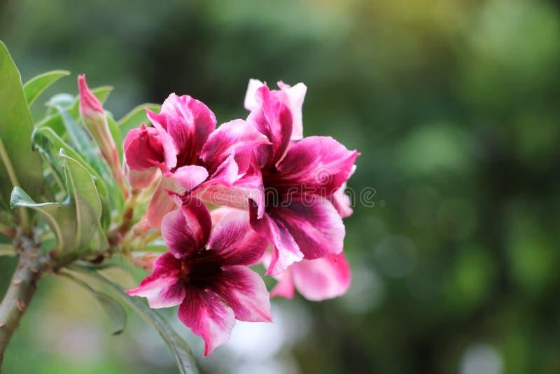 Den ljusa öknen steg röda blommor och det rosa kronbladet i de trädgårds- fresna arkivbild