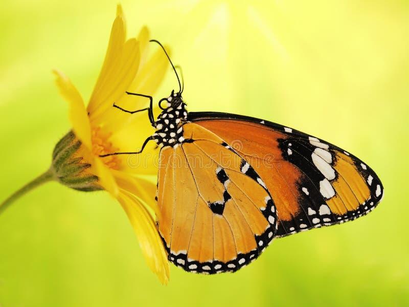 Den ljusa fjärilen för apelsinslätttigern, Danauschrysippusen, på en ringblommablomma på guling och gräsplan blured bakgrund royaltyfri fotografi