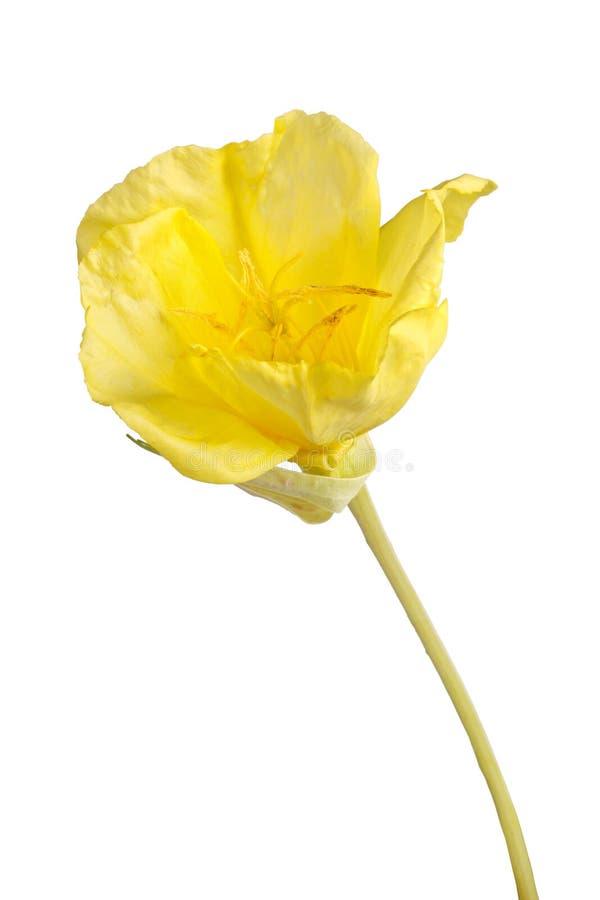 Den ljusa gula blomman av den Missouri nattljuset isolerade a royaltyfria foton